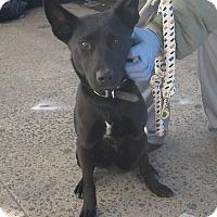 Adopt A Pet :: Gypsy - Bronx, NY
