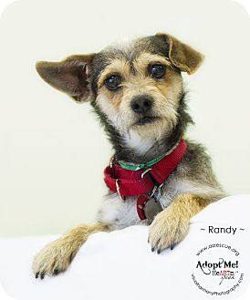 Terrier (Unknown Type, Small) Mix Dog for adoption in Phoenix, Arizona - Randy