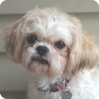 Maltese/Shih Tzu Mix Dog for adoption in Atlanta, Georgia - Bonnie