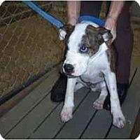 Adopt A Pet :: Boxer boy - Scottsdale, AZ
