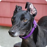 Adopt A Pet :: Saga - Ware, MA
