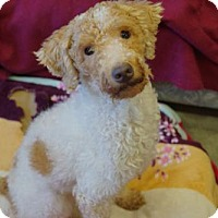 Adopt A Pet :: 'TOFFEE' - Agoura Hills, CA