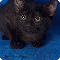 Domestic Shorthair Cat for adoption in Gilbert, Arizona - Kona