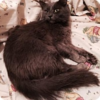 Ragdoll Cat for adoption in Harrisburg, North Carolina - Althea