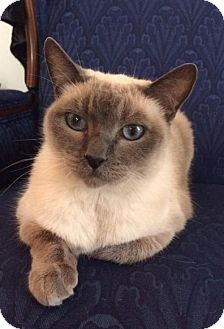 Burmese Cat for adoption in St Paul, Minnesota - Bettie
