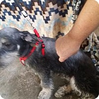 Standard Schnauzer/Dachshund Mix Puppy for adoption in Spring, Texas - Skeeter