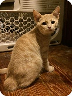 Domestic Shorthair Kitten for adoption in Albany, New York - Marshmallow