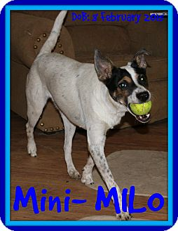 Rat Terrier Mix Dog for adoption in New Brunswick, New Brunswick - MILO