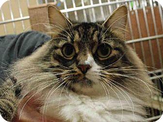 Domestic Mediumhair Cat for adoption in Pittsburgh, Pennsylvania - HONEYSUCKLE