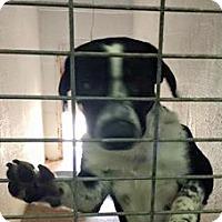 Adopt A Pet :: Ranger - Aurora, MO