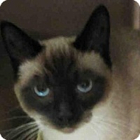 Siamese Cat for adoption in Missoula, Montana - SOPHIE