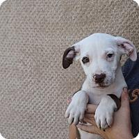Adopt A Pet :: Cheddar - Oviedo, FL