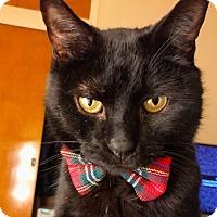 Domestic Shorthair Cat for adoption in New York, New York - Jake
