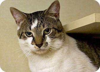 Domestic Shorthair Cat for adoption in Troy, Michigan - Mooch
