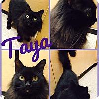 Adopt A Pet :: Taya - Arlington/Ft Worth, TX