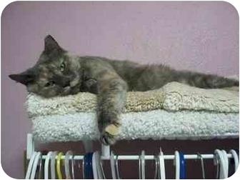 Domestic Shorthair Cat for adoption in Jenkintown, Pennsylvania - Iris