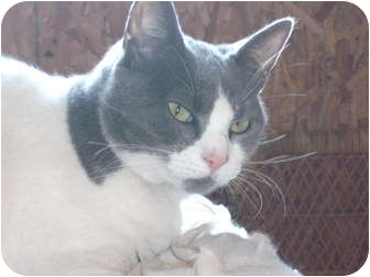 Domestic Shorthair Cat for adoption in Morris, Pennsylvania - Gracie