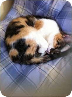 Calico Cat for adoption in Pittstown, New Jersey - Morgan