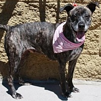 American Staffordshire Terrier Mix Dog for adoption in Gilbert, Arizona - Marie