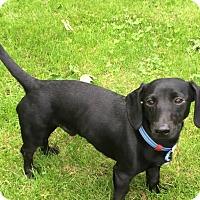 Adopt A Pet :: Super Sammy - Marcellus, MI
