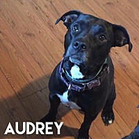 Adopt A Pet :: Audrey - Foster Needed - Detroit, MI