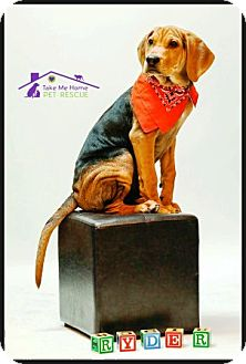 Coonhound/Hound (Unknown Type) Mix Dog for adoption in Richardson, Texas - Ryder