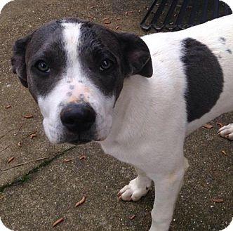 Labrador Retriever Mix Puppy for adoption in Manchester, New Hampshire - Bella