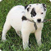 Adopt A Pet :: Mattie - Spring Valley, NY