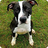 Adopt A Pet :: Domino - Lebanon, ME