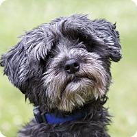 Adopt A Pet :: TOCHKA - Ile-Perrot, QC