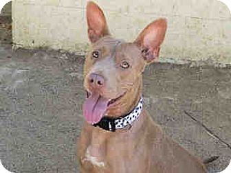 American Pit Bull Terrier Mix Dog for adoption in Agoura, California - Lulu
