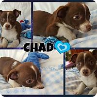 Adopt A Pet :: Chad - Washington, DC
