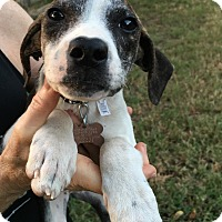 Adopt A Pet :: Claire - Hagerstown, MD