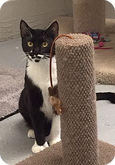 Polydactyl/Hemingway Cat for adoption in San Leon, Texas - Zia