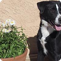 Adopt A Pet :: Kodiak*courtesy listing - Los Angeles, CA