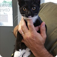 Domestic Shorthair Kitten for adoption in Paducah, Kentucky - Aleerah