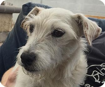 Jack Russell Terrier Dog for adoption in Carmichael, California - Ginger (Long Beach)
