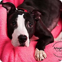 Adopt A Pet :: Noel - Mt Vernon, NY
