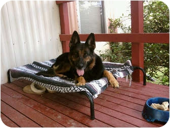 German Shepherd Dog Dog for adoption in Greeneville, Tennessee - Leila