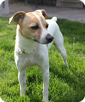 greyhound terrier mix missy adopted dog bend or jack russell terrier 6619