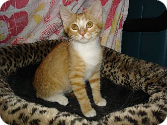 Domestic Shorthair Kitten for adoption in Easley, South Carolina - Tango