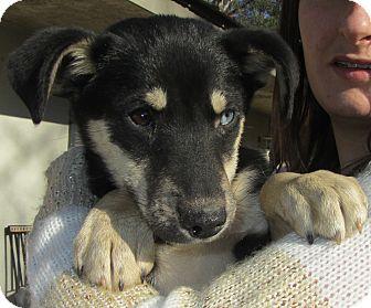 Rat Terrier/Miniature Pinscher Mix Puppy for adoption in Lincolnton, North Carolina - Richie