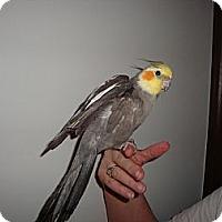 Adopt A Pet :: Gussie - St. Louis, MO