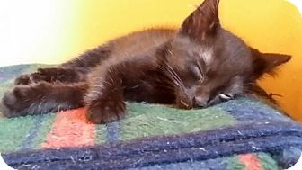 American Shorthair Kitten for adoption in Marrero, Louisiana - Shadow  - In Foster