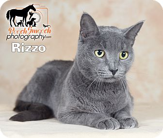 Domestic Shorthair Cat for adoption in Broadway, New Jersey - Rizzo