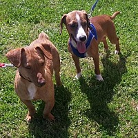 Dachshund/Terrier (Unknown Type, Medium) Mix Dog for adoption in Baton Rouge, Louisiana - Linus