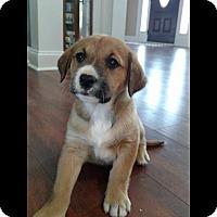 Adopt A Pet :: Sophie - Albemarle, NC