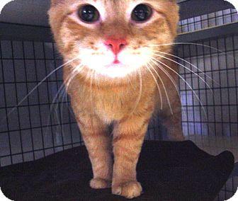 Domestic Mediumhair Cat for adoption in Kalamazoo, Michigan - Bruce Wayne