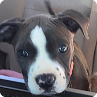 Adopt A Pet :: Grace - Scottsdale, AZ