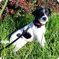 Adopt A Pet :: Cookie - Arlington, VA